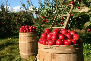 Pick Your Own orchard - Dutchess County NY